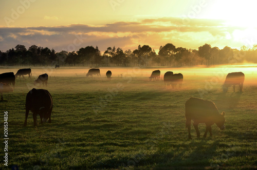 Rural landscape with herd of cows in morning fog at sunrise in Morpeth, NSW, Aus Fototapete