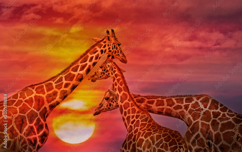 African background, Giraffes against the sunset sky.