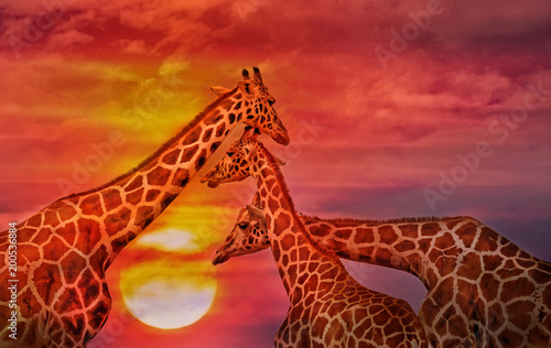 Ingelijste posters Rood traf. African background, Giraffes against the sunset sky.