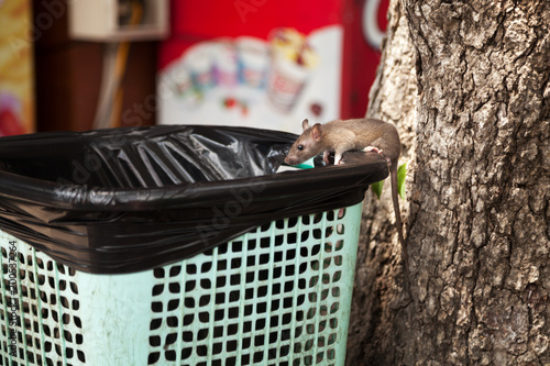 Young city rat searching for food in an outdoor cafe trash bin. Cute grey mouse scavenging garbage