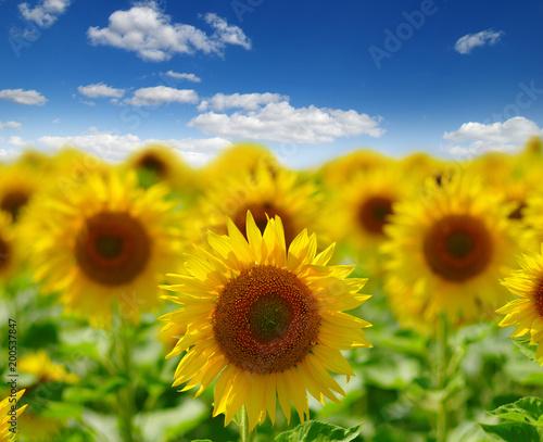 Zdjęcie XXL pole kwitnących słoneczników