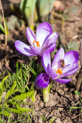 Poster Krokussen Purple crocus flowers in the garden on spring