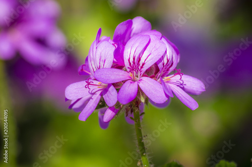 Geranium (Pelargonium graveolens) on the green background in the sunshine
