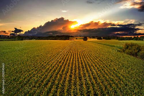 Maisfeld im Sonnenuntergang Fototapeta
