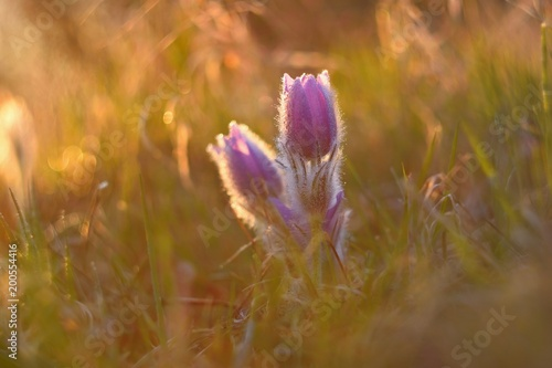 Staande foto Lente Spring flower. Nature with meadow and sunset. Seasonal concept for springtime. Beautifully blossoming pasque flower and sun with a natural colored background. (Pulsatilla grandis)
