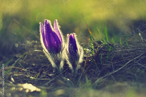 Staande foto Lente Spring flowers. Beautifully blossoming pasque flower and sun with a natural colored background. Detail of beautiful spring nature (Pulsatilla grandis)