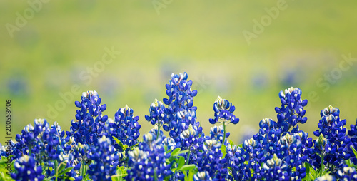 Poster Texas Texas Bluebonnet (Lupinus texensis) flowers blooming in springtime. Selective focus.