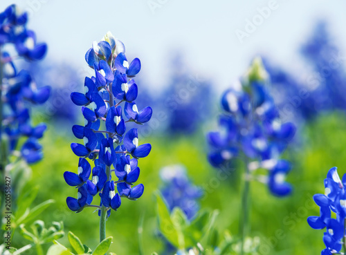 Photo Texas Bluebonnet (Lupinus texensis) flowers blooming in springtime