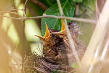 Pair Of Hungry Baby Blackbirds...
