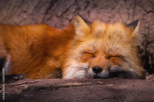 Fotografia Schlafender Europäischer Rotfuchs