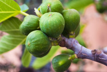 Unripe Figs On Branch In Sicily