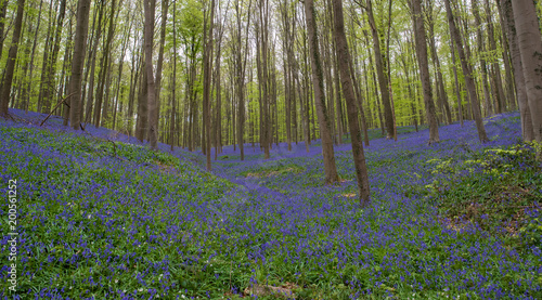 Papiers peints Forets Blue Bell Forest, a carpet of blue bell flowers in a forest setting