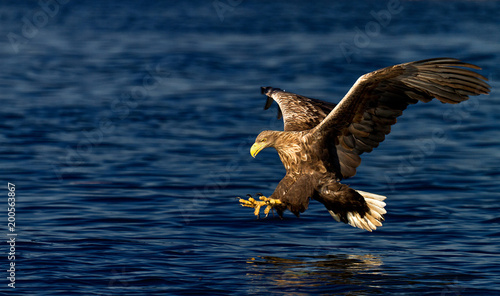 Poster Aigle White-tailed eagle