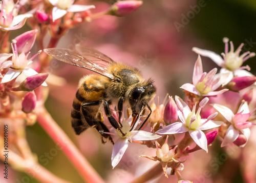Staande foto Bee Honey bee