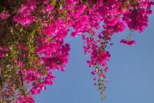 Pink Bougainvillea Flowers.