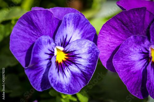 Stiefmütterchen, Veilchen, Blume