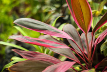Red Green Leaves Cordyline Terminalis Closeup On A Blurred Plant Background..