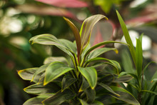 Plant Variety Cordyline Terminalis With Colored Leaves On A Blurred Plant Background..