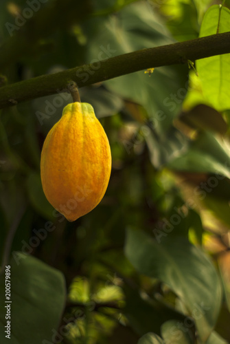 Fotografía  almost ripe cocoa tree (cacao tree) fruit hang on a branch