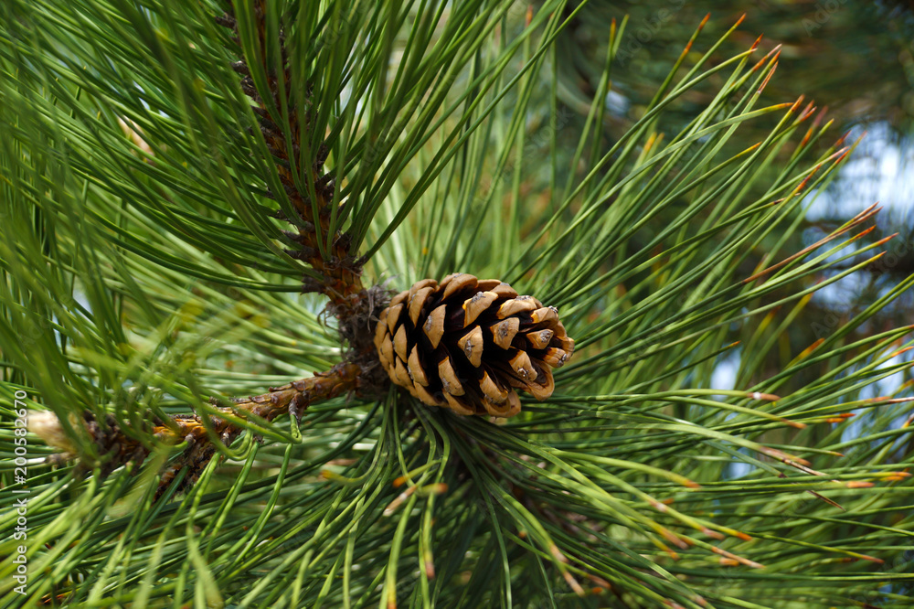 Fototapety, obrazy: Seed cone surrounded by long needles of black pine