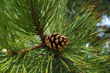Seed Cone Surrounded By Long Needles Of Black Pine