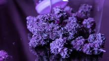Strains Of Buds Marijuana In T...