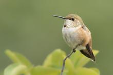 Rufous Hummingbird Perched In ...