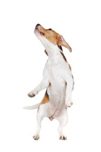Beagle Dog On Hind Legs Looking Up