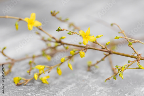 Deurstickers Narcis Yellow forsythia suspensa spring. Flowers bloom from buds on the branches. gray background