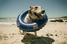 Australia Day Dog At The Beach On A Summers Day.