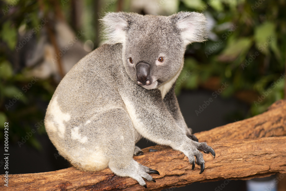 Cute Australian Koala resting during the day.