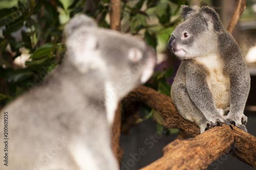 Staande foto Koala Cute Australian Koala resting during the day.