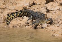An Australian Saltwater Crocodile (Crocodylus Porosus) On The Muddy Bank Of A River In Northern Australia