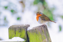Robin Redbreast In A Woodland ...