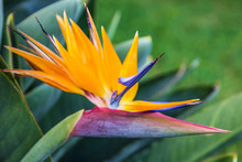 Tropical Flower Bird Of Paradi...