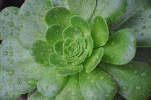 Succulent Green Flower After R...