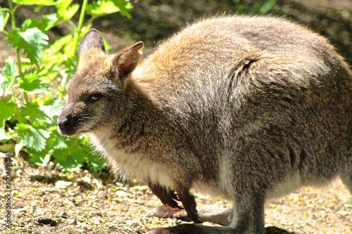 Bennett Känguru schaut und träumt Fototapete
