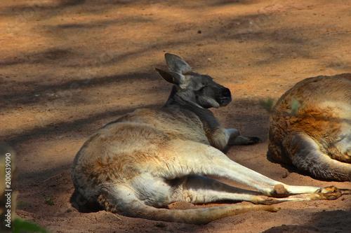 rotes Riesenkänguru liegt Fotobehang