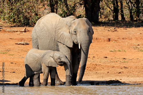 Foto op Aluminium Olifant African elephant (Loxodonta africana) cow and calf at a waterhole, Kruger National Park, South Africa.