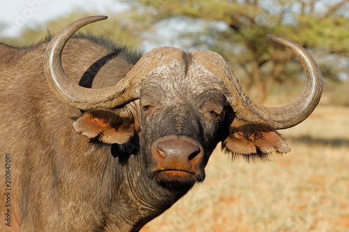 Poster Buffel Portrait of an African or Cape buffalo (Syncerus caffer), Mokala National park, South Africa.
