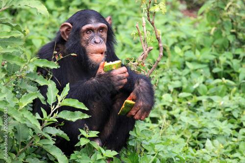 Vászonkép Chimpanzee - Uganda