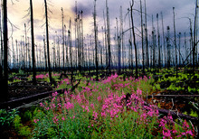 Fireweed Is First Plant To Rep...