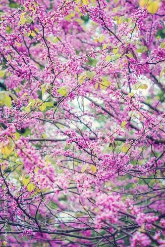 Fotografie, Obraz  Redbud Tree Flowers.