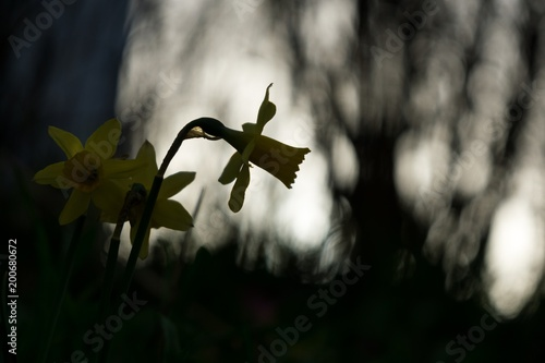Garden Poster Narcissus Daffodil flower in grass. Slovakia
