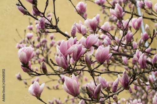 Poster Magnolia Spring tree flowering - Magnolia flower. Slovakia