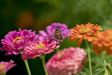 American Painted Lady Butterfly Resting On Colorful Zinnia Flowers