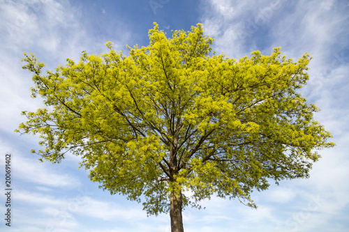Blühender Spitzahorn (Acer platanoides) im Frühjahr Baumkrone