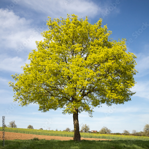 Blühender Spitzahorn (Acer platanoides) im Frühjahr