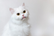 Cute White Persian Cat Sticking Tongue With White Background.