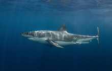 A Side On View Of A Great White Shark